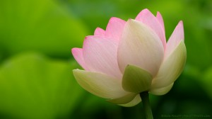 Japanese lotus in summer