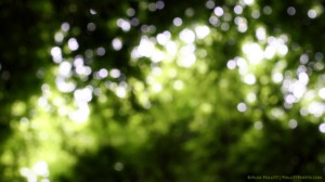 Japanese maple in summer