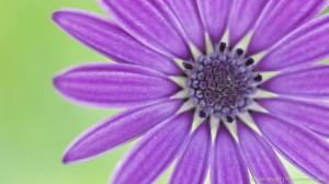 African daisy 2