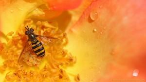 Sweat bee, morning dew